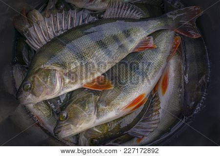 A Lot Of Live Perch Fish. Fishing Background Of Caught Trophies