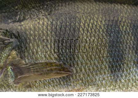Perch Fish Scale Skin With Fin. Fishing Camouflage Background.