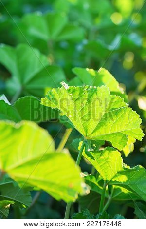 Young Green Vibrant Leaves Of Meadow Field Plant In Golden Sunlight. Spring Summer Easter Concept. B
