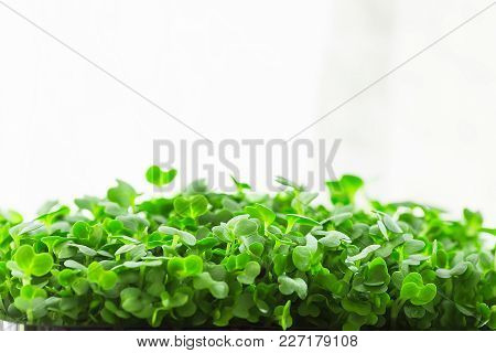 Young Fresh Sprouts Of Potted Water Cress Growing Indoors On Kitchen Window-sill. Soft Daylight Whit