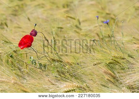 Beautiful Red Poppy And A Blue Chicory In A Green Wheat Field In The Summer, Dobrogea,romania