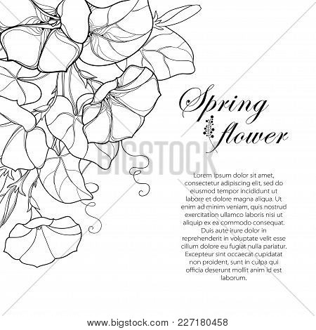 Vector Corner Bouquet With Outline Ipomoea Or Morning Glory Flower, Leaf And Bud In Black Isolated O
