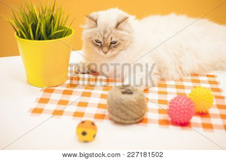 Pet Care Concept. A Beautiful Point-seal Siberian Female Cat Is Lying With A Plant In A Pot, A Skein