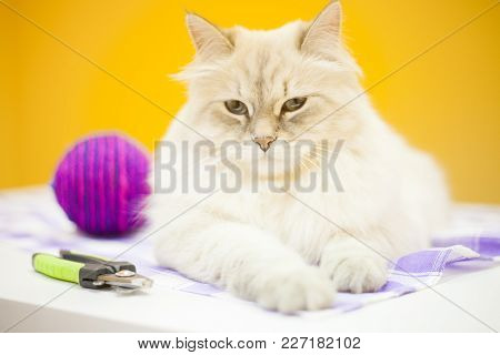 Pet Care Concept. A Beautiful Point-seal Siberian Female Cat , Colorful Rope Toy Ball And A Pair Of