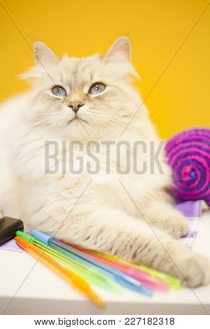 A Beautiful Point-seal Siberian Female Cat , Colorful Rope Toy Balls And Colored Pens Are On The Tab