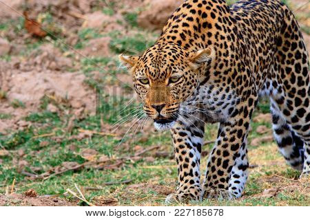 African Leopard On The Prowl On The Open Plains In South Luangwa National Park , Zambia, Southern Af