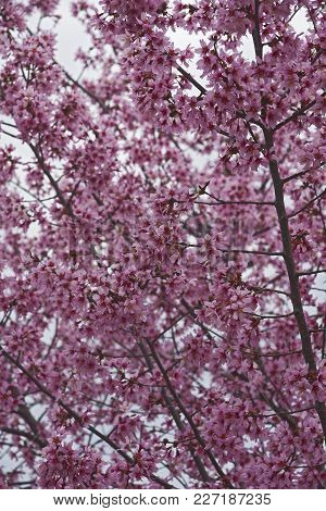 Okame Flowering Cherry Tree In Blossom
