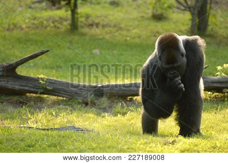 A Large Gorilla Appears To Be Contemplating Something In The Late Afternoon Sun, At The Kansas City,