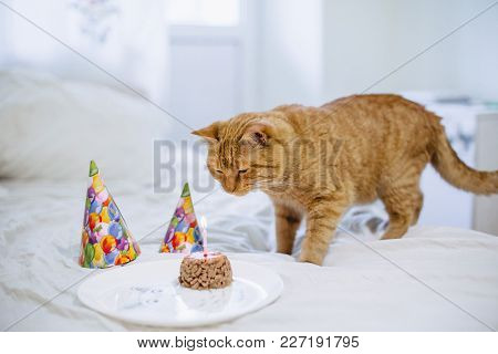 Cat sniffs a cake from the cat food for the birthday of a cat on a plate with a hood and a candle poster
