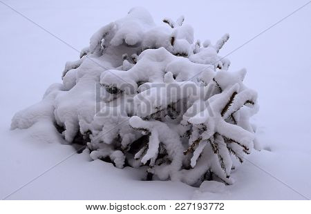 Conifer Tree With Many Snow On Their Branches