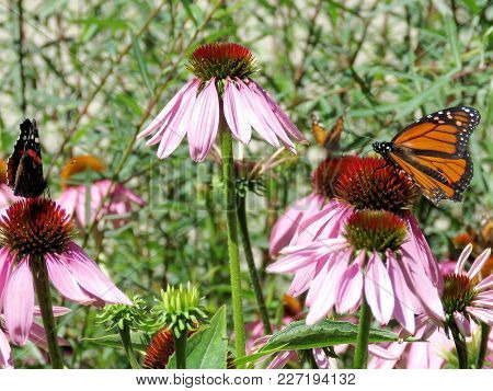 Red Admiral Butterfly And Monarch Butterfly On Purple Coneflowers On A Shore Of The Lake Ontario In