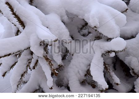 Close-up Of Branches Of A Conifer After Heavy Snowfall