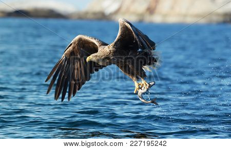 Close Up Of A White-tailed Sea Eagle (haliaeetus Albicilla), Catching A Fish, Norway.
