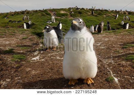 Close Up Of A Gentoo Penguin (pygoscelis Papua) Chick, Falkland Islands.