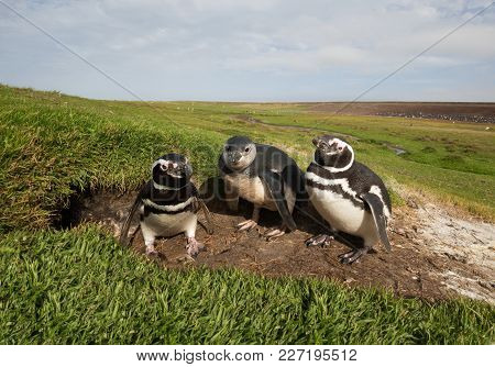 Family Of Magellanic Penguins Standing By A Burrow, Summer In Falkland Islands.