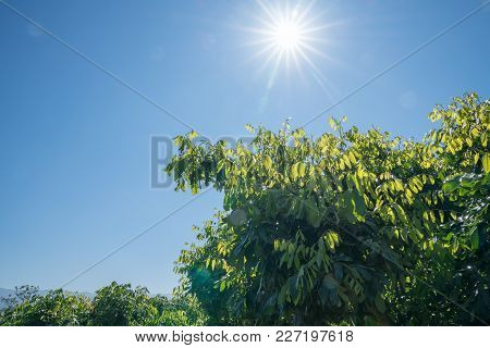 Lens Flare In Blue Sky Above New Green Leaf Growth On Longan Fruit Trees In A Rural Thai Orchard