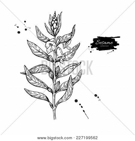 Sesame Plant Vector Drawing. Hand Drawn Food Ingredient. Botanical Sketch Of Herb With Seed. Agricul