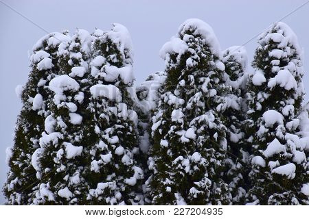 Conifer With Many Snow On Their Branches
