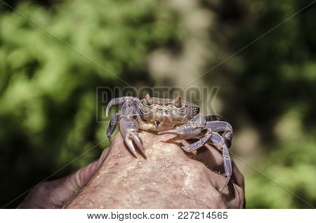 Violet River Crab Photographed Close-up On A Hand Background Mash, Background Greenish Gray