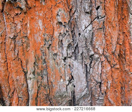 Tree Bark With Red Lichen And Algae. Texture.