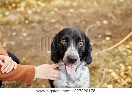Spaniel Dog With Long Ears Walks In The Autumn Park And Looks At The Owner. Dog On Nature, Russian S