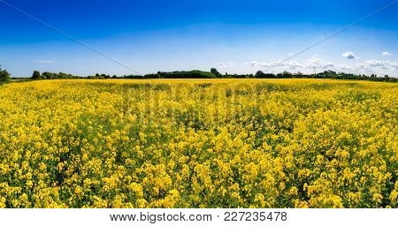 Summer landscape with yellow blooming rapeseed field in Kent, Southern England, UK. Rapeseed aka oilseed rape or charlock is cultivated for its oil-rich seed as a source of vegetable oil