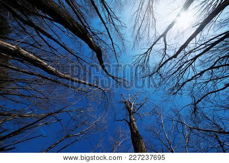 Winter trees under a blue sky with sun light flare. Winter trees with no leaves camera facing upwards.