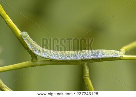 Caterpillar Of Orange Tip