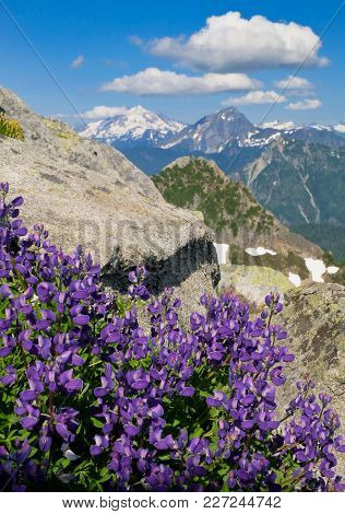Alpine Wildflowers (lupin) On Vesper Peak With Glacier And Sloan Peak Beyond. Mountain Loop Highway
