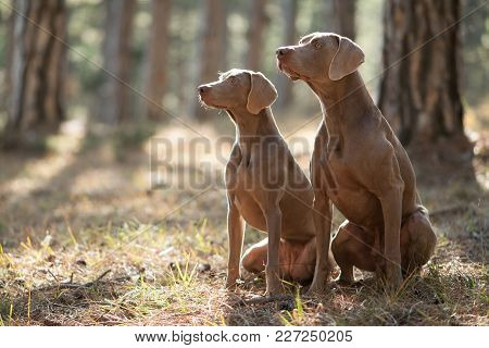 Two Beautiful Hunting Dogs Breed Weimaraner For A Walk In The Forest Portrait