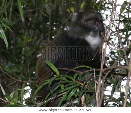 Red Eye Monkey on the Kilimanjaro in Tanzania poster