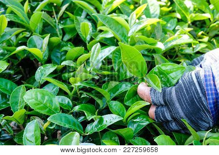 Farmer Hands Picking Fresh Green Tea Bud, Tea Plantation Agriculture, Nature Background