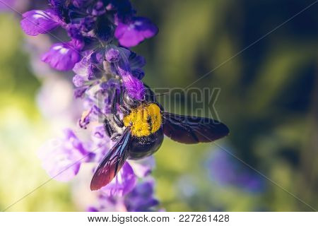 Carpenter Bee Perched On The Beautiful Flowers In Nature