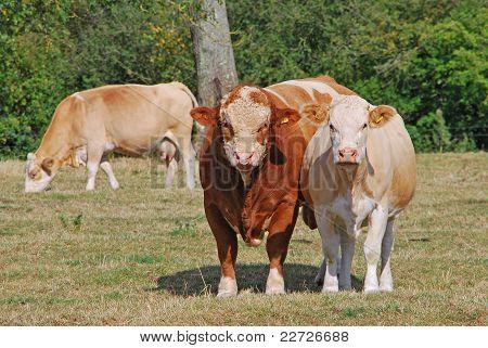 Toro y vaca