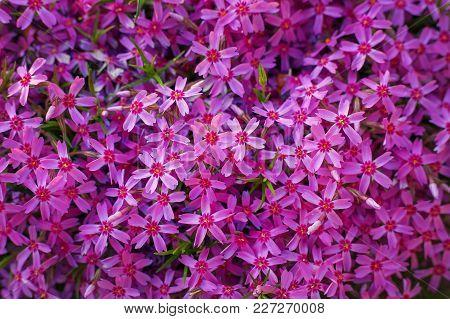 Phlox Subulata (creeping Phlox, Moss Phlox, Moss Pink, Or Mountain Phlox). Many Small Purple Flowers