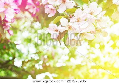 Blooming Apple Tree. Floral Natural Background Spring Time Season.