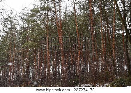 A Wood Of Coniferous Trees. Winter Nature.