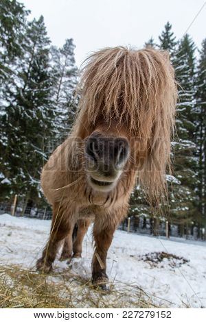 Close Up On A Shetland Horse Eating In A Snowy Pasture