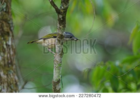 Blyth's Shrike-babbler On Tree
