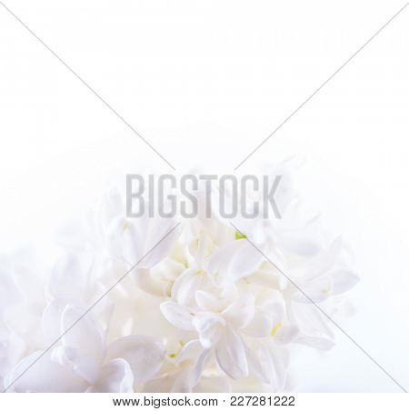 Just blooming lilac flowers. Blurred floral tone in soft colors. Macro photo.