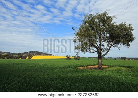 Beautiful Agricultural Harvest Fields In Central West Nsw Australia