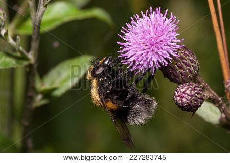 Bee Is Gathering Nectar From A Thistle Flower. Animals In Wildlife. Summer Morning.