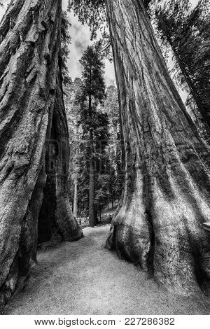 Two Giant Sequoia trees (sequoiadendron giganteum) in Sequoia National Park, California, USA. HDR black and white
