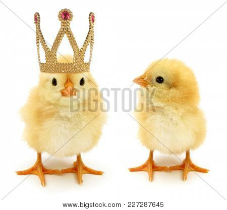Two chicks one enrichment become king or queen monarch with golden crown