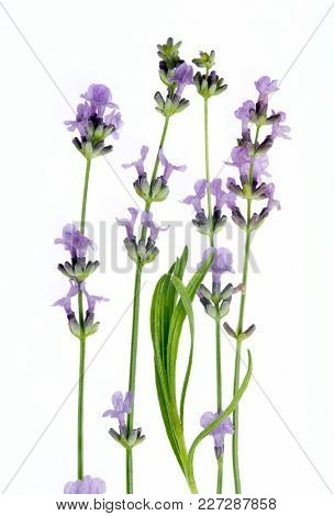 Fresh lavender flowers isolated on white background