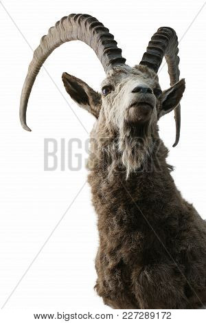 Ibex Trophy Animals Theme Taxidermy Objects Isolated