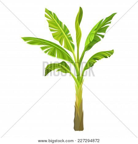 Cartoon Illustration Of Banana Palm. Tree With Big Bright Green Leaves. Tropical Plant. Graphic Desi