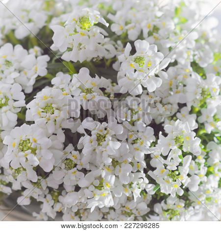 White Flowers Iberis, Spring Blossom.  Springtime Concept. Copy Space.
