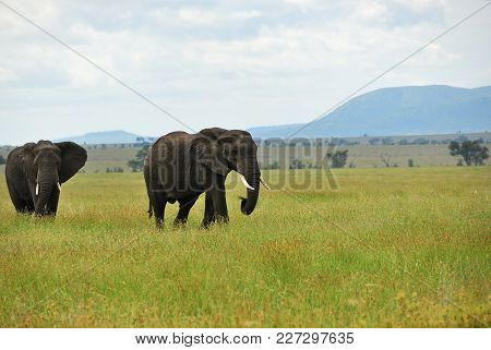 Two African Elephants Grazing On The Green Grassland In The Savannah Of The Serengeti National Park
