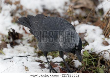 The Jackdaw Bird Is Looking For Food In The Snow. Ukraine. 2018